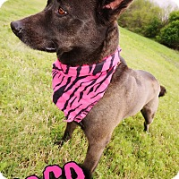 Adopt A Pet :: Coco - Converse, TX
