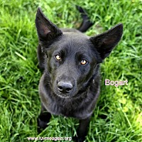 Adopt A Pet :: Bogart - Bloomington, MN