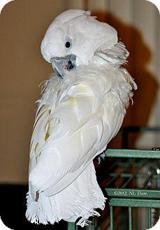 Cockatoo for adoption in Lenexa, Kansas - Barley