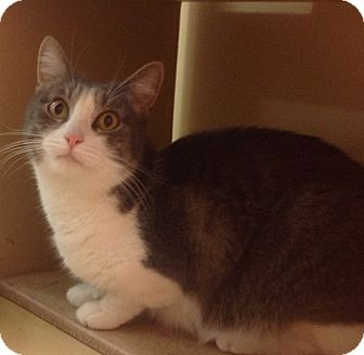 Domestic Shorthair Cat for adoption in Modesto, California - Holly