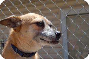 Chihuahua Mix Dog for adoption in SLC, Utah - Tyke