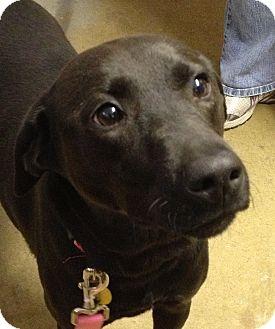 Labrador Retriever Mix Dog for adoption in Richmond, Virginia - Lucy