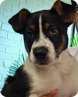 Border Collie/Boxer Mix Puppy for adoption in Groton, Massachusetts - Sheldon