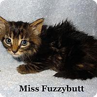 Adopt A Pet :: Miss Fuzzybutt - Bentonville, AR