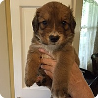 Adopt A Pet :: Bruno - New Canaan, CT