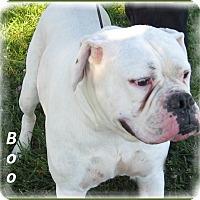Adopt A Pet :: Boo - Marlborough, MA