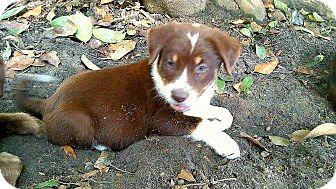 Shepherd (Unknown Type)/Anatolian Shepherd Mix Puppy for adoption in Ellaville, Georgia - Yoshi (adoption pending)