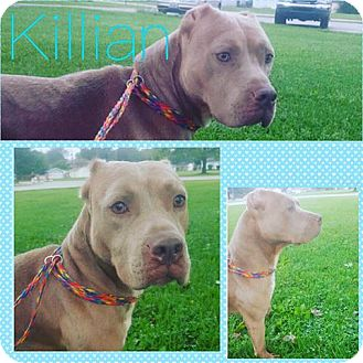 American Staffordshire Terrier Mix Dog for adoption in Steger, Illinois - Killian