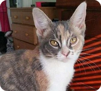 Domestic Shorthair Kitten for adoption in Davis, California - Athena