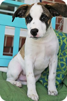 Labrador Retriever/Boxer Mix Puppy for adoption in Bedminster, New Jersey - Tatum