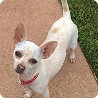 Adopt A Pet :: Pippa - Southeastern, PA