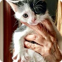 Adopt A Pet :: Gumbo - Island Park, NY