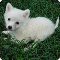 Adopt A Pet :: Mini Eskimo Girls - Orlando, FL