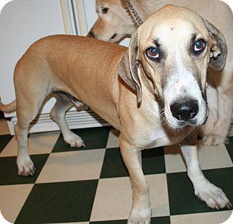 Basset Hound/Labrador Retriever Mix Dog for adoption in Wakefield, Rhode Island - Benny