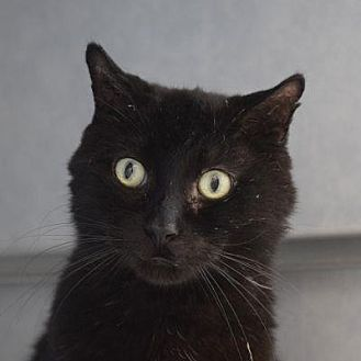 Domestic Shorthair Cat for adoption in Denver, Colorado - Phoenix