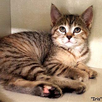 Domestic Shorthair Kitten for adoption in Key Largo, Florida - Iris