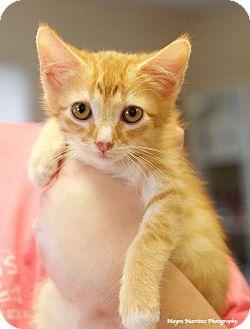 Domestic Shorthair Kitten for adoption in Huntsville, Alabama - Cheeto