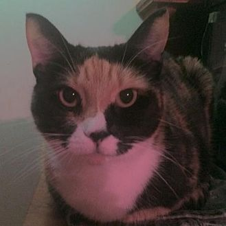 Domestic Shorthair Cat for adoption in Montreal, Quebec - Jody