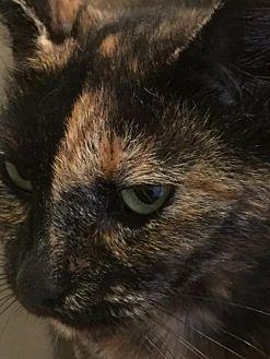 Domestic Shorthair Cat for adoption in Philadelphia, Pennsylvania - Chai