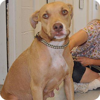 Pit Bull Terrier Dog for adoption in Sunrise Beach, Missouri - Gemma