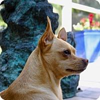 Shiba Inu/Chihuahua Mix Dog for adoption in Ft Myers Beach, Florida - Super Chihuahua!