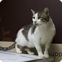 Domestic Shorthair Cat for adoption in Hazlet, New Jersey - Buddy