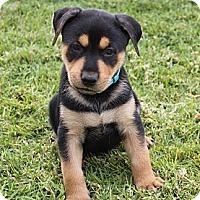 Adopt A Pet :: Shaggy - La Habra Heights, CA