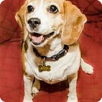 Adopt A Pet :: Lailya - Phoenix, AZ