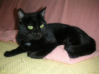 Domestic Shorthair Cat for adoption in Midway City, California - Rose
