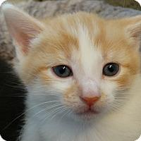 Adopt A Pet :: Bernadette-Big Bang Bunch - Florence, KY