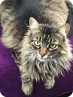 Maine Coon Cat for adoption in San Fernando Valley, California - Mercy