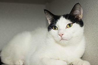 Domestic Shorthair Cat for adoption in Los Angeles, California - Morgana