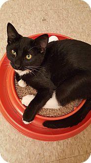 Domestic Shorthair Kitten for adoption in Lacey, Washington - Shaun