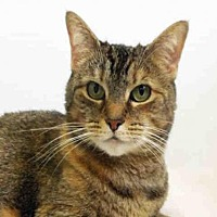 Domestic Mediumhair Cat for adoption in Hampton Bays, New York - PENELOPE