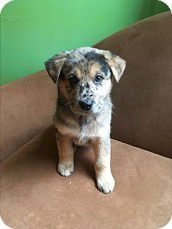 German Shepherd Dog/Australian Shepherd Mix Puppy for adoption in Charlotte, North Carolina - Calypso