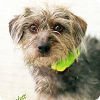 Adopt A Pet :: Scarlett - Dalton, GA