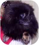 Pomeranian Dog for adoption in Chesapeake, Virginia - Potter