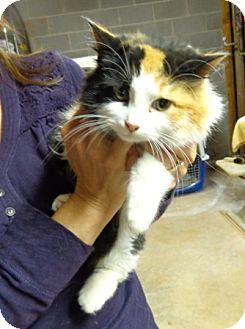 Calico Kitten for adoption in Wakinsville, Georgia - Foxy