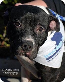 Staffordshire Bull Terrier Mix Dog for adoption in Houston, Texas - Tita