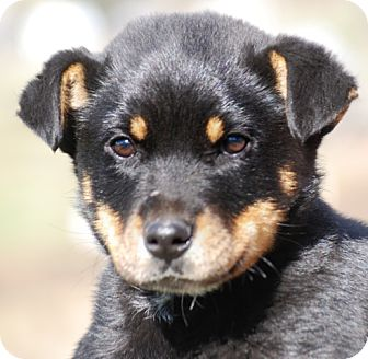 Rottweiler Mix Puppy for adoption in Providence, Rhode Island - Bear
