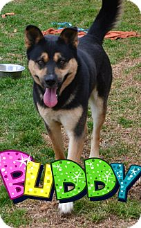 Shepherd (Unknown Type)/Labrador Retriever Mix Dog for adoption in Knoxville, Tennessee - Buddy