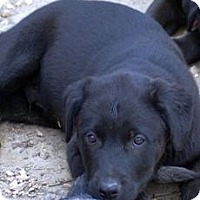 Catahoula Leopard Dog/Labrador Retriever Mix Dog for adoption in Oakland, Arkansas - Cody