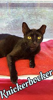 Domestic Shorthair Cat for adoption in Huntington, New York - Knickerbocker