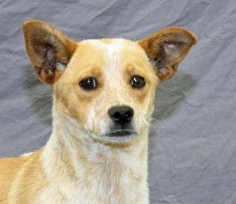 Australian Cattle Dog Dog for adoption in Modesto, California - Prince