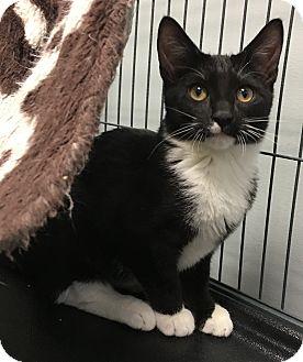 Domestic Shorthair Kitten for adoption in Wayne, New Jersey - Demi