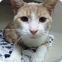 Adopt A Pet :: Kit Kat - Hamburg, NY