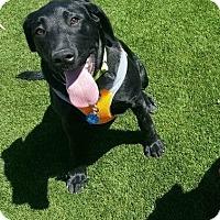 Adopt A Pet :: Raven - Litchfield Park, AZ