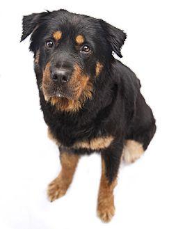 Australian Shepherd/Chow Chow Mix Dog for adoption in Pasadena, California - SARA