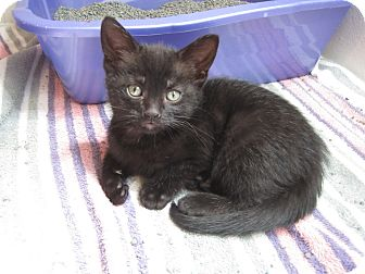 Domestic Shorthair Kitten for adoption in Chesterfield Township, Michigan - Molly
