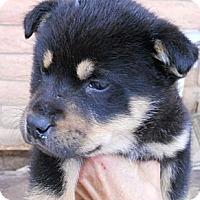 Adopt A Pet :: Thelma - dewey, AZ